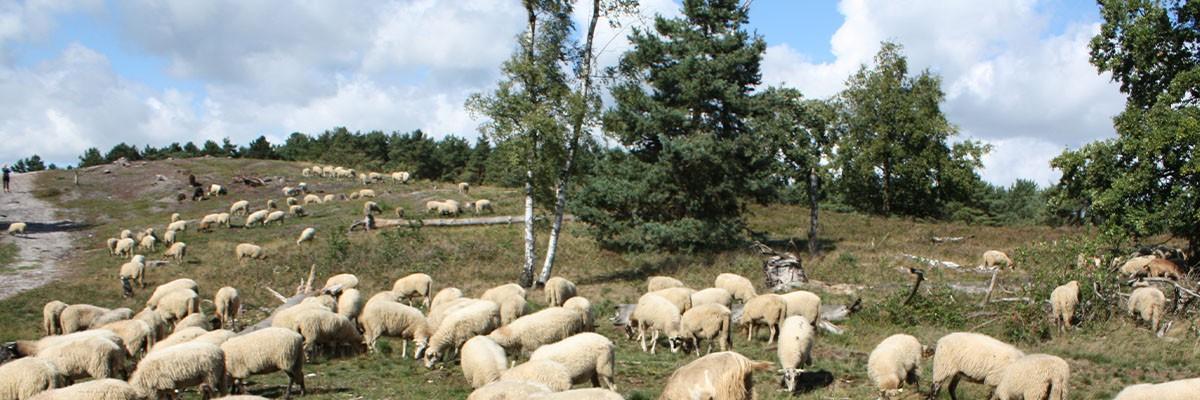 schapenkudde Brunssummerheide